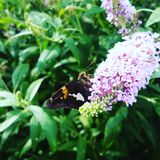 Moth on Butterfly Bush Stock Photography