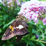 Moth on Butterfly Bush Royalty Free Stock Photos