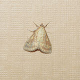Moth butterfly Stock Photos