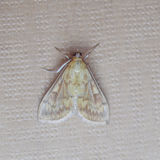 Moth butterfly Stock Images