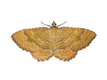 Moth butterfly Royalty Free Stock Image