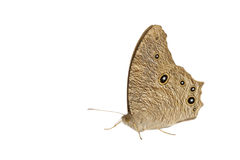 Moth. Or  butterfly at night Royalty Free Stock Image