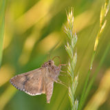 Moth butterfly Royalty Free Stock Photos