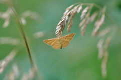Moth butterfly Stock Photography