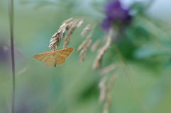 Moth butterfly Royalty Free Stock Photography