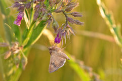 Moth butterfly Royalty Free Stock Images