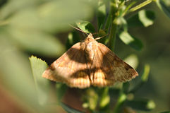Moth butterfly Stock Image