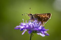 Moth butterfly on a spring flower collecting pollen and nectar
