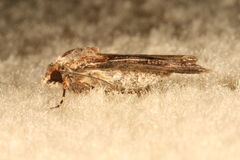 Moth on a Carpet. Macro image of a moth in Melbourne, Australia Stock Photography