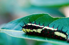 Moth caterpillar Royalty Free Stock Images