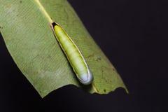Moth caterpillar in nature Stock Image