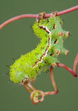Moth Caterpillar on Vine. An io moth caterpillar is walking on a vine Royalty Free Stock Photos