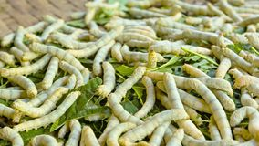 Moth caterpillars. Animals used for the silk production Stock Image