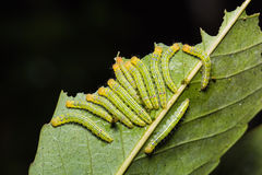 Moth caterpillars in nature Royalty Free Stock Photos