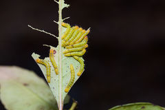 Moth caterpillars in nature Royalty Free Stock Images
