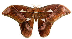 Moth with clipping path Royalty Free Stock Images