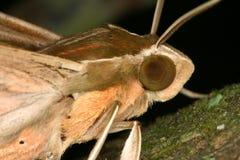 Moth closeup Royalty Free Stock Image