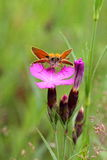 Moth on a cloves. Delicate pink flowers field bright pinks stand out among a field of green grass. Every morning they blossom new buds. They are very attracted Royalty Free Stock Photos