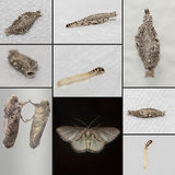 Moth Collage. Cloth moth, from larvae stage with its casing to an adult moth stock photo