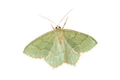 Moth, Common Emerald (Hemithea aestivaria) Royalty Free Stock Photo