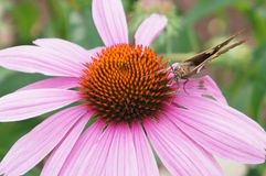 Moth on coneflower Royalty Free Stock Photo