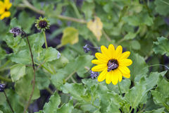 Moth on Daisey. Brown Moth Rests in Center of Bright Yellow Daisy Among Green Vegitation Stock Images