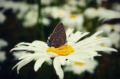 Moth on Daisy Royalty Free Stock Photos