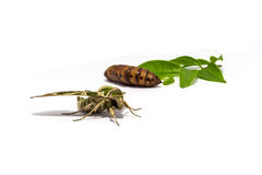 Moth (Daphnis nerii) pupa and leaf on white screen Stock Images