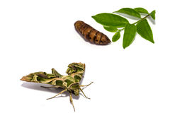 Moth (Daphnis nerii) pupa and leaf on white screen Stock Photos
