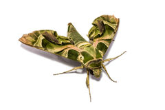 Moth (Daphnis nerii) on white screen Stock Photography