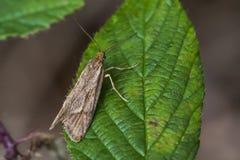 Moth (Diurnea lipsiella) Royalty Free Stock Image