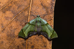 Moth on dried leaf Stock Image