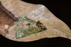 Moth on dried leaf Royalty Free Stock Photos