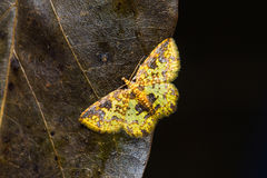 Moth on dried leaf Royalty Free Stock Image