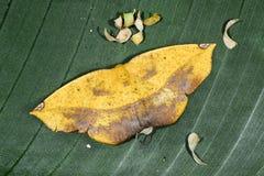 Moth, epigynopteryx ansorgei, ranomafana Royalty Free Stock Image