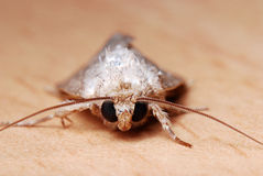 Moth Face Royalty Free Stock Images