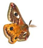 Moth flight Royalty Free Stock Image