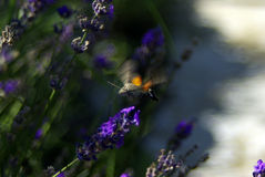 Moth in flight Royalty Free Stock Image