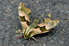 Moth. The moth on the floor stock photos