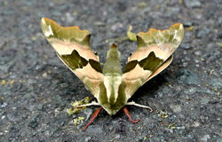 Moth. The moth on the floor royalty free stock photos