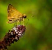 Moth on flower Stock Images