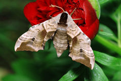 Moth and flower Stock Photo