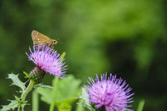 The moth and  flowers in spring Royalty Free Stock Photography