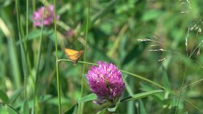 The moth flutters over the clover flower stock video