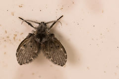 Moth Fly. A close up of a Moth Fly in a drain pipe in Florida stock photography