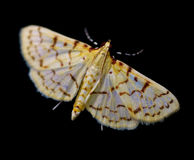 Moth Flying Stock Photos