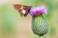 Moth going horizontal on a vertical flower. Closeup of a moth on a thistle flower in summertime Stock Image