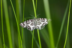 Moth in a green grass Royalty Free Stock Images