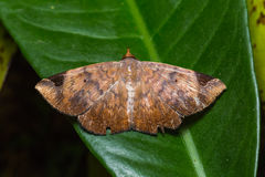 Moth on green leaf Stock Photography