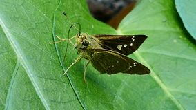 Moth on green leaf. stock video footage